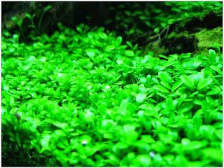 gambar-Glossostigma-Elatinoides-Tanaman-Stem-Aquascape