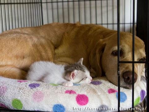 子猫とラブラドールのお昼寝