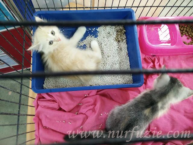 Penjagaan Anak Kucing Yang Ketiadaan Ibu Nurfuzie Com