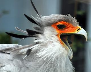 Funny Secretary Bird
