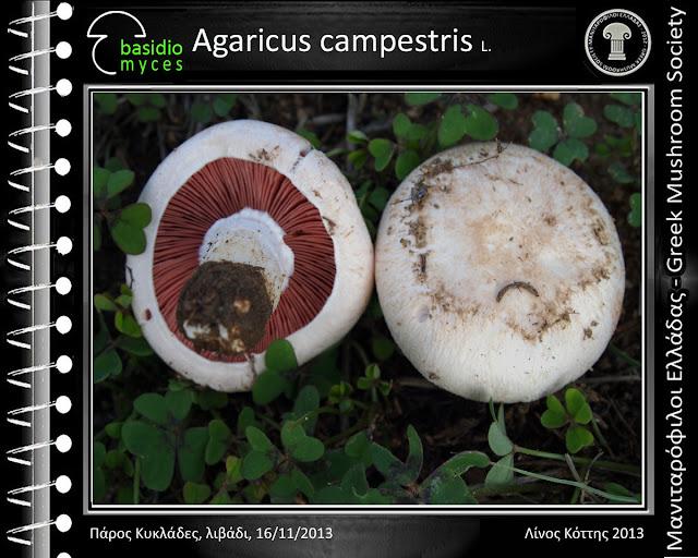 Agaricus campestris L.