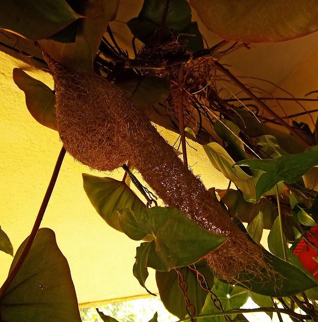 baya bird nest