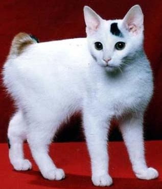 Facts about Japanese Bobtail Cat and their Tails