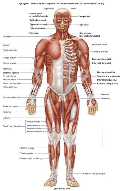 The Anatomy And Structure Of The Individual Human Body Safe Health