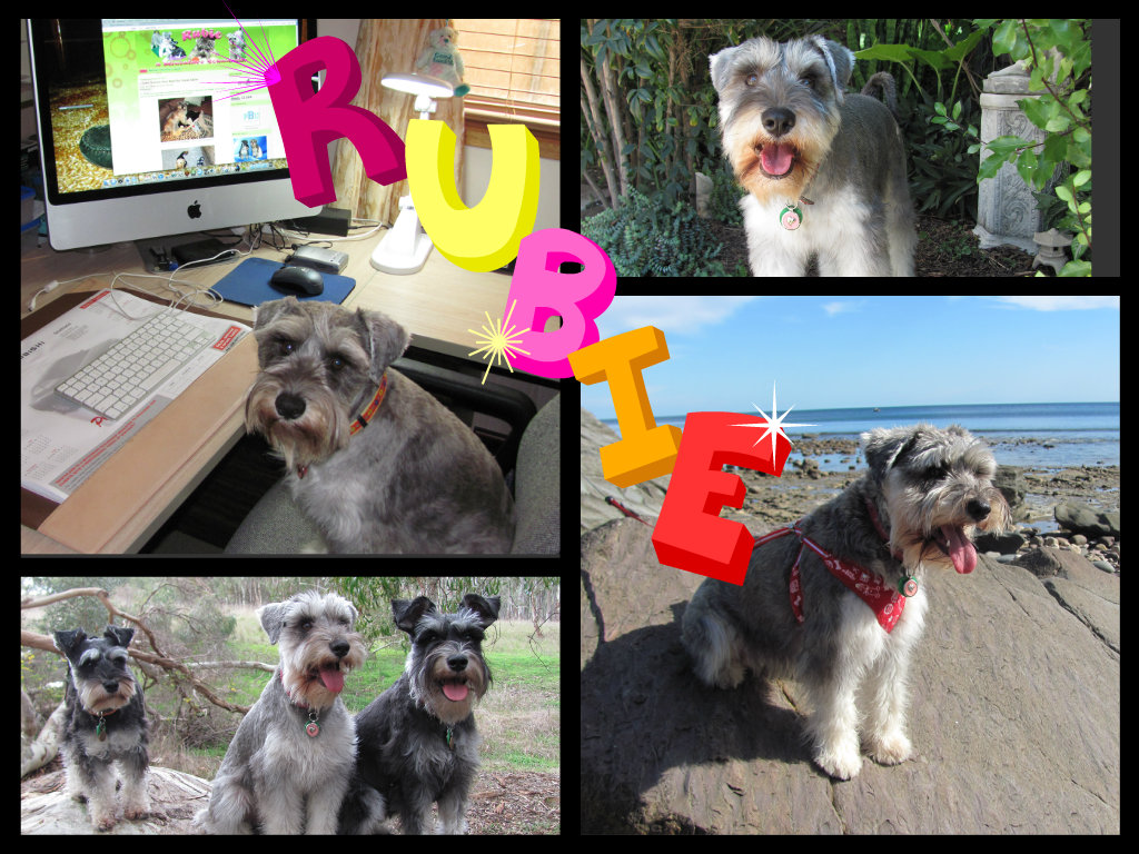 Rubie a Miniature Schnauzer