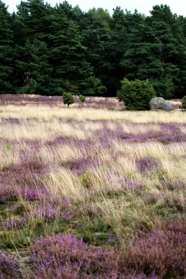 heathland with flowering heath
