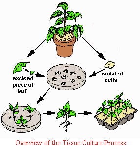 introduction to plant tissue culture Plant tissue culture procedure were urbanized primarily to lobby the totipotency of conceal cells predicted by haberlandt in 1902 totipotency is the capacity of a.