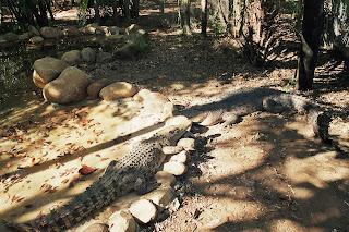 Crocodile Queensland Australia the Billabong sanctuary