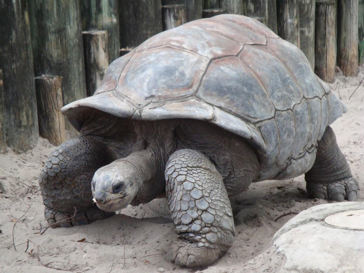 Giaesnt Tortois