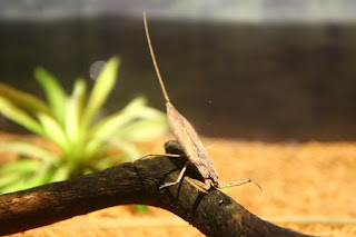 Laccotrephes japonensis