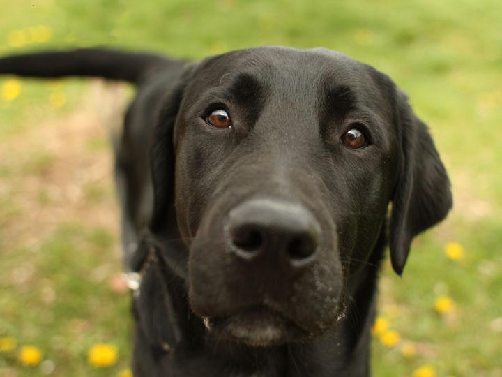 Tyson - Black Labrador Retriever