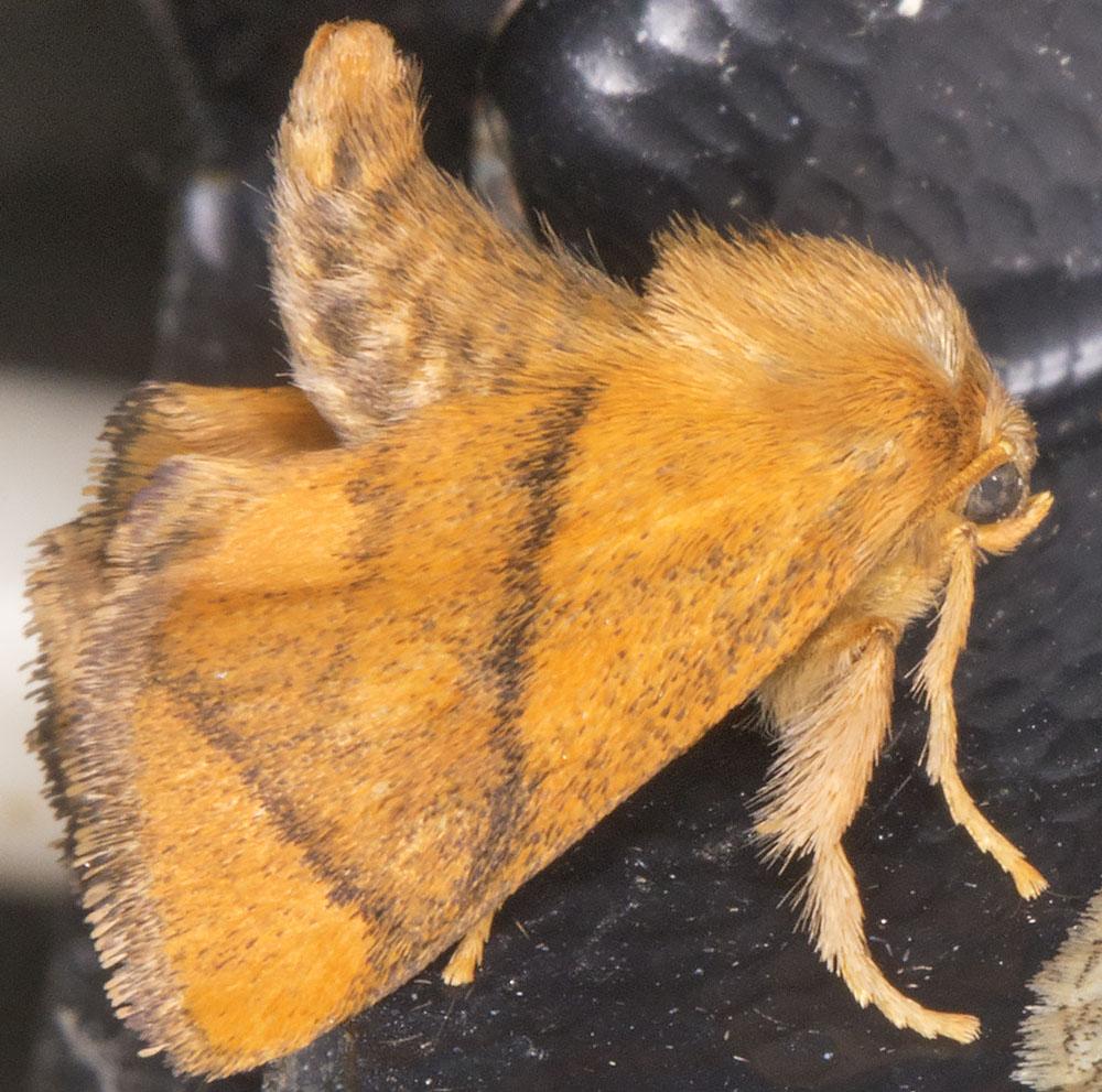 Festoon, Apoda limacodes.  Limacodidae.   West Wickham Common light trap, 16 July 2014.