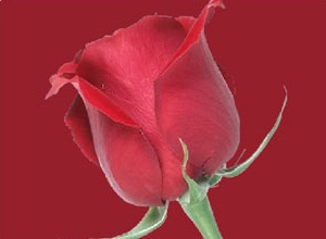 animated rose wallpaper |Rose Wallpapers