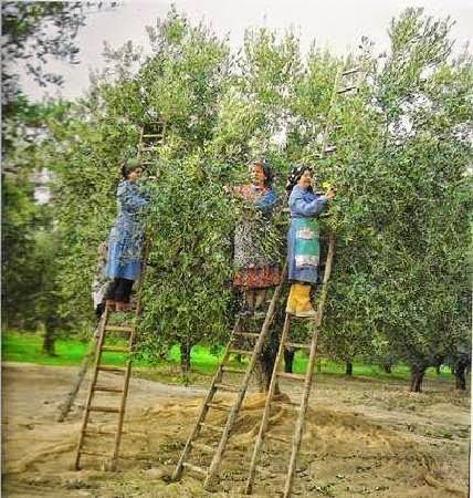 Come avviene la raccolta delle olive for Raccolta olive periodo