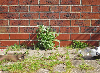 Buddleia growing by brick wall.