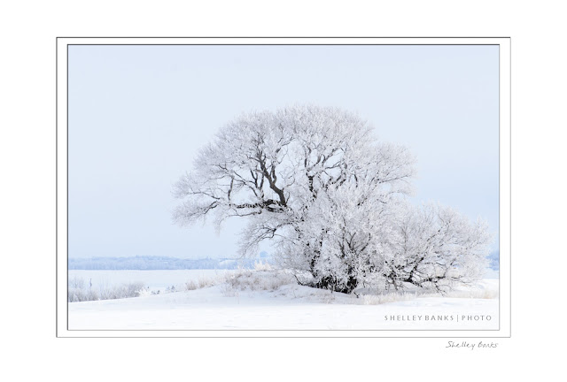Hoar Frost: photo by Shelley Banks, all rights reserved.