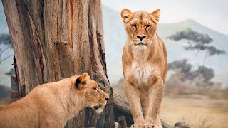 African Lioness desktop theme