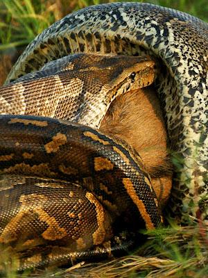 ular sawa sedang telan mangsa