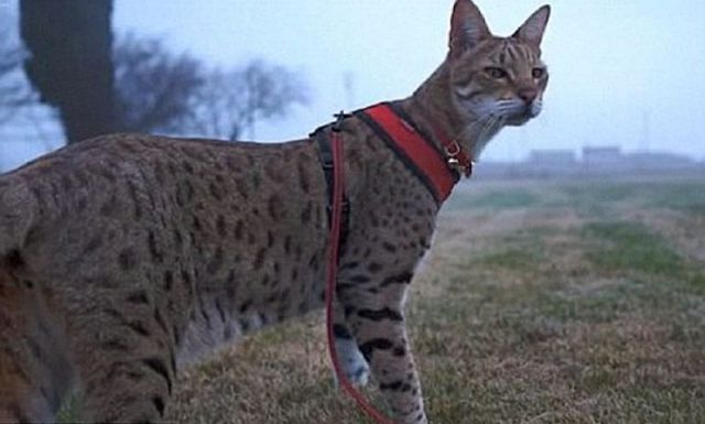The Tallest Cat In The World. Is The Guinnessu0027 Worldu0027s Tallest Cat.  Savannah Cat, World Tallest Cat Cnn, World Tallest Man, World Tallest Cat  2010, ...