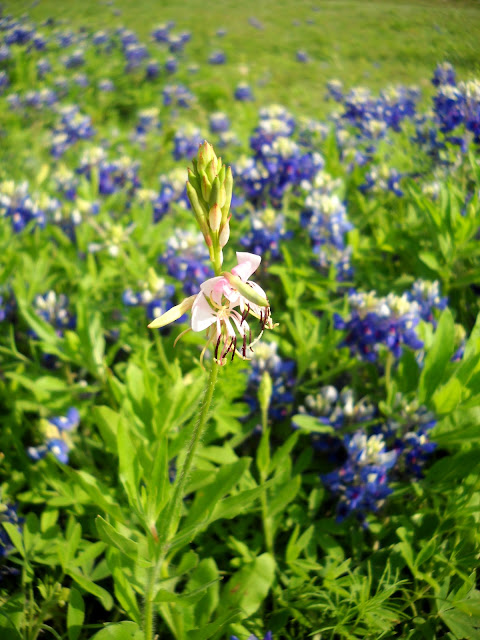 A lone Limestone Gaura in a field of Bluebonnets, White Rock Lake, Dallas, Texas