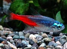Freshwater Tropical Fish Neon Tetra Paracheirodon innesi