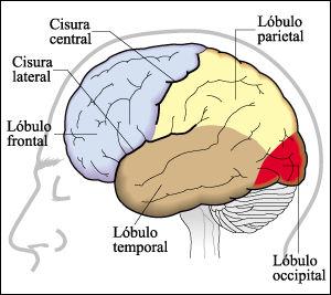 Funciones hemisferios cerebrales izquierdo y derecho