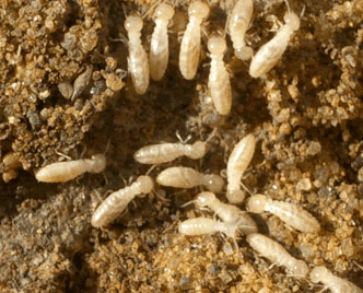 Pictures of Termite Worms http://renaissancemantoronto.blogspot.com/2011/06/goods.html
