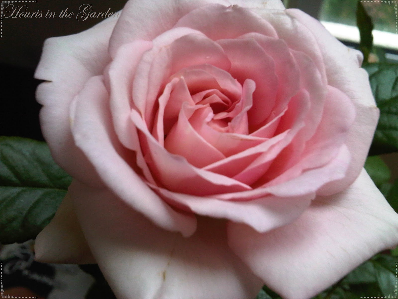 Houris In The Garden Enchanting Rosesght Pink Rose