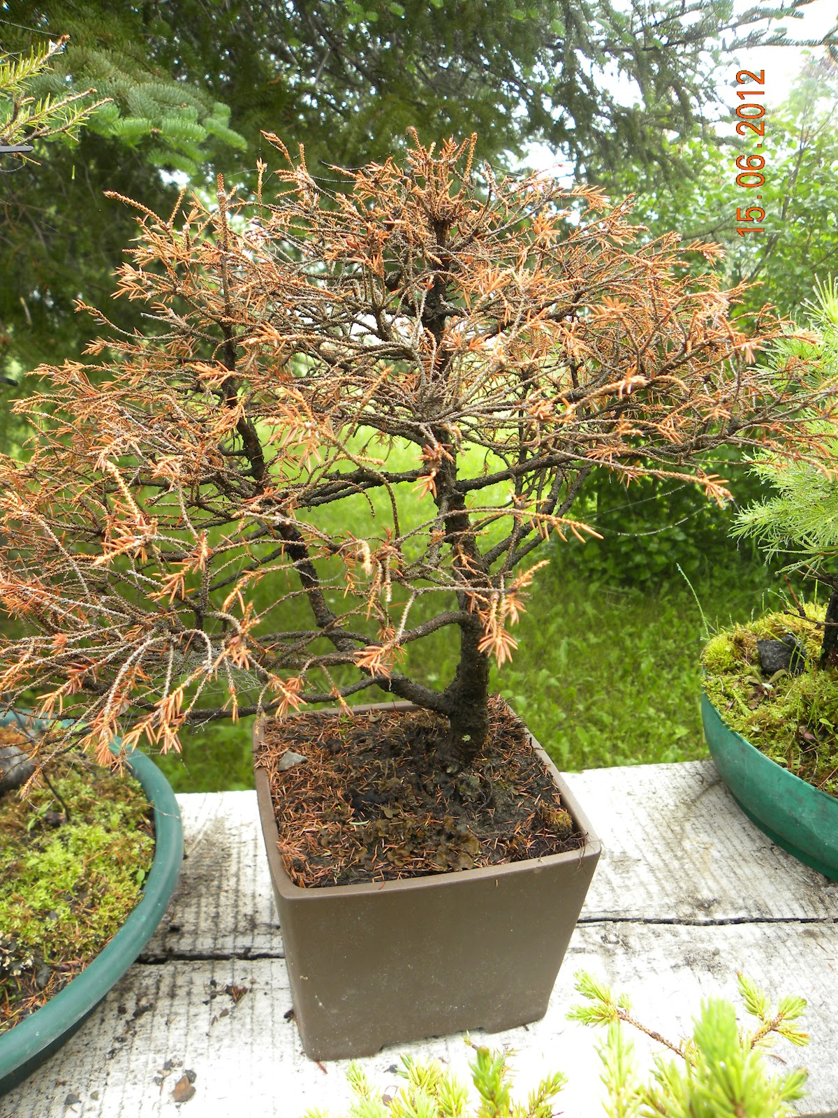 Incoming BYTES Challenges Of Bonsai Tree Loss