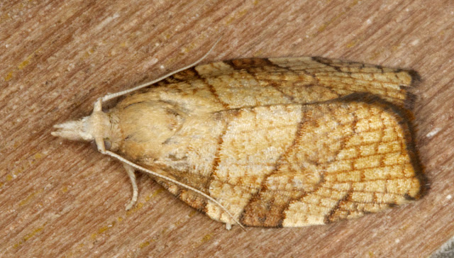 Chequered Fruit-Tree Tortrix, Pandemis corylana.  A Micromoth.  Moth trap in Hayes, 25 August 2011.