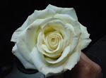 Rosa blanca sobre fondo oscuro