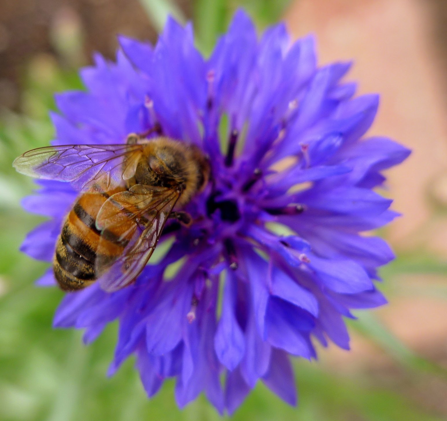Honey Bee pollinators, urban farming