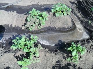 12 июня, полив картофеля