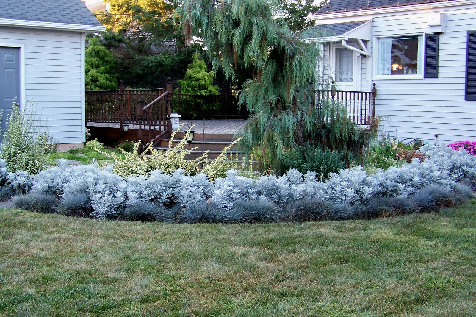 A Garden in Bethlehem PA Blue Fescue Dusty Miller and Euonymus