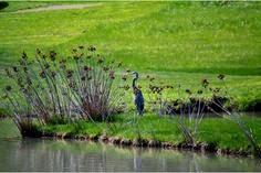 blue heron saltville va