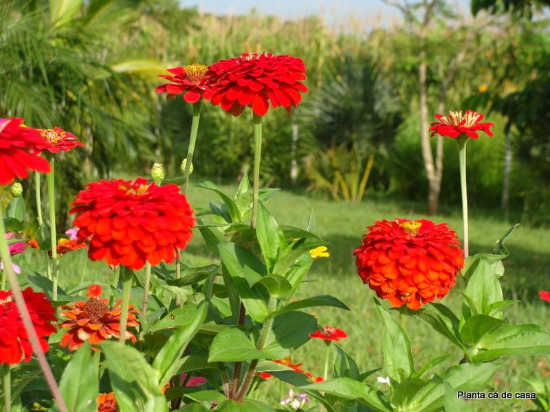 Planta cá de casa Veja o que está florescendo no meu jardim