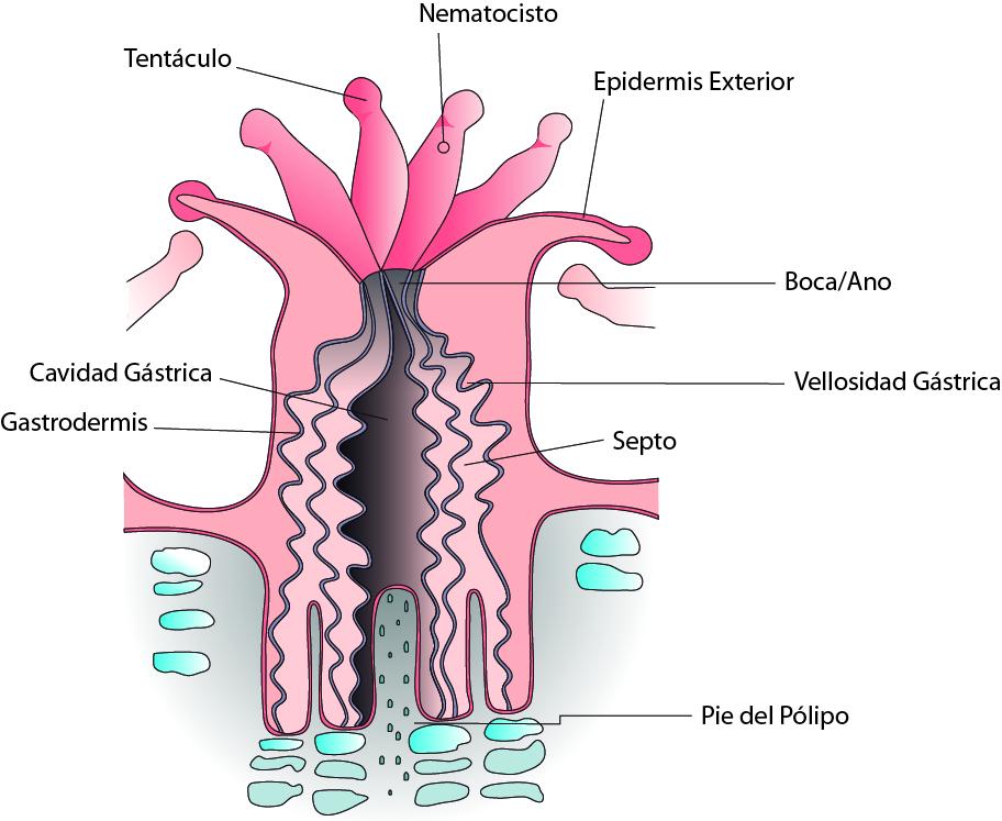 Lujo Anatomía Pólipo De Coral Bandera - Anatomía de Las Imágenesdel ...