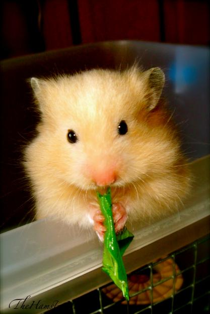 How Bathe Hamster