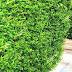 Ligustrum Ovalifolium - California Privet Hedge