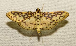 Pyraloidea, moth
