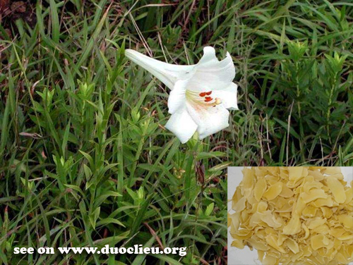 Lilium brownii var. viridulum Baker (Fam. Liliaceae)