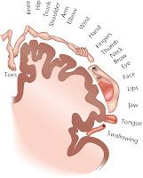 Brain Homunculus