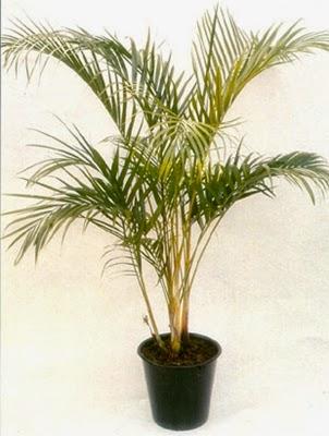 Palem Kuning nama latin Chrysalidocarpus