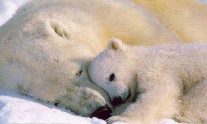 White Bear Sleeping with Love