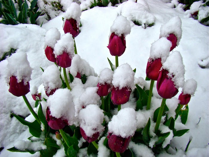 tải hình hoa tulip full hd