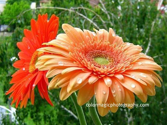 Gerbera flowers with raindrops