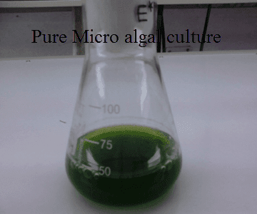 Pure Micro algal culture