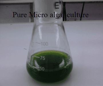 Pure Micro algal culture
