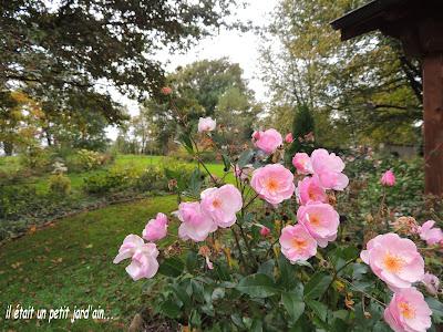 rosier rose remontant