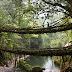 Nature's Marvel: Living Root bridges of Cherrapunji.